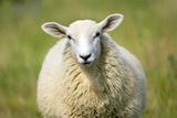 Moutons Reproduction photographique par Jeremy Walker
