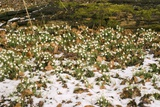 Snowdrops (Galanthus Nivalis) Photographic Print by Adrian Thomas