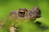 Male Common Toad Photo by Colin Varndell