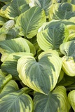 Hosta 'Carnival' Photographic Print by Adrian Thomas