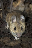 Woodmouse Print by Colin Varndell