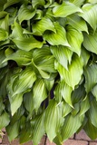 Hosta 'Little Red Rooster' Prints by Adrian Thomas