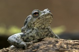 Male Common Toad Prints by Colin Varndell
