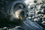 Basking Weddell Seal Photographic Print by David Vaughan