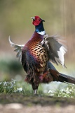 Male Common Pheasant Papier Photo par Colin Varndell