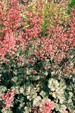 Heuchera 'Rave On' Photographic Print by Adrian Thomas