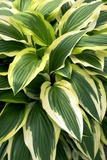 Hosta 'Yellow Splash Rim' Photographic Print by Adrian Thomas