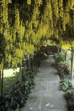 Laburnum Arch Photographic Print by Adrian Thomas