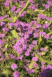 Verbena Rigida Photographic Print by Adrian Thomas