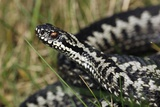 Male Common European Adder Prints by Colin Varndell