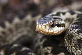 Common Adder Photographic Print by Colin Varndell