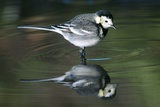 White Wagtail Photographic Print by Colin Varndell