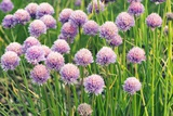 Chives (Allium Schoenoprasum) Posters by Adrian Thomas