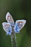 Common Blue Butterflies Photographic Print by Colin Varndell