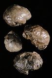 Endocranial Casts of Australopithecus Photo by Javier Trueba