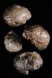Endocranial Casts of Australopithecus Photographic Print by Javier Trueba