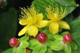 Tutsan Flowers And Fruit Photographic Print by Colin Varndell