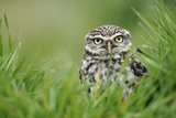 Little Owl Photographic Print by Colin Varndell