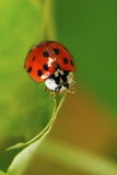 Harlequin Ladybird Photographic Print by Colin Varndell