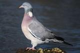 Wood Pigeon Fotodruck von Colin Varndell