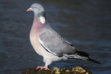 Wood Pigeon Photographic Print by Colin Varndell