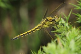 Black-tailed Skimmer Male Photographic Print by Colin Varndell