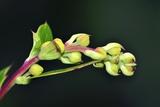 Barberry (Berberis Darwinii) Fotografie-Druck von Colin Varndell