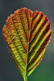 European Alder Leaf Fotografie-Druck von Colin Varndell