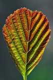 European Alder Leaf Photographic Print by Colin Varndell
