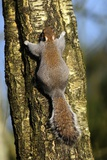 Grey Squirrel Photographic Print by Colin Varndell