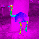 Thermogram of a Rhea Photographic Print by Dr. Arthur Tucker