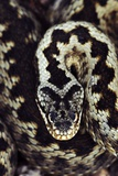 Common Adder Poster by Colin Varndell