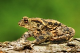 Common Toad Male Fotodruck von Colin Varndell