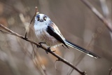 Long-tailed Tit Fotodruck von Colin Varndell