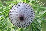 Woolly Thistle Seed Head Fotografie-Druck von Colin Varndell