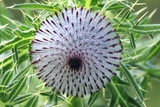 Woolly Thistle Seed Head Photographic Print by Colin Varndell