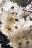 Old Man's Beard Seedheads Photographic Print by  Dr. Keith