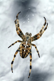 Garden Spider Photographic Print by Dr. Keith Wheeler