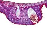 Pear Rust Fungus, Light Micrograph Reprodukcja zdjęcia autor Dr. Keith Wheeler