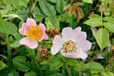 Wild Rose (Rosa Canina) Prints by Dr. Keith Wheeler
