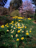 Dr. Keith Wheeler - Daffodils (Narcissus Sp.) - Fotografik Baskı