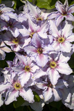 Clematis Flowers (Clematis Sp.) Photo by Dr. Keith Wheeler