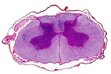 Spinal Cord, Transverse Section Photographic Print by Dr. Keith Wheeler