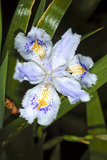 Iris (Iris Japonica) Photographic Print by Dr. Keith Wheeler