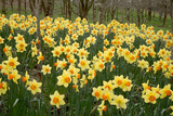 Daffodils (Narcissus 'Red Devon') Photographic Print by Dr. Keith Wheeler