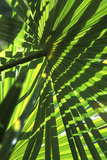 Palm Leaves Photographic Print by Dr. Keith Wheeler