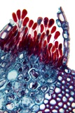 Rust Fungus In a Leaf, Light Micrograph Reprodukcja zdjęcia autor Dr. Keith Wheeler