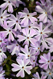 Creeping Phlox (Phlox Subulata) Photographic Print by Dr. Keith Wheeler