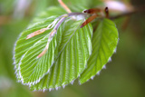 European Beech Leaves (Fagus Sylvatica) Photographic Print by  Dr. Keith
