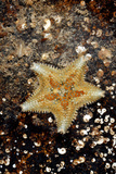 Cushion Starfish Prints by Dr. Keith Wheeler